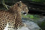 Sri Lankan Leopard