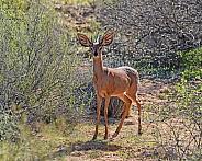 Steenbok