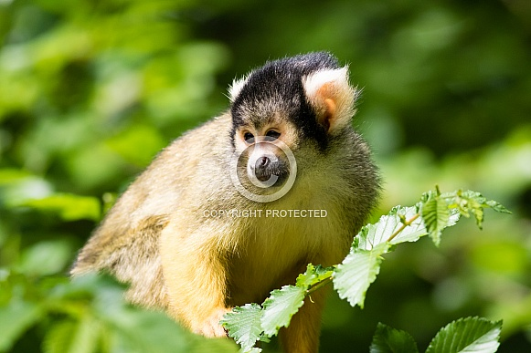 Squirrel monkey close-up