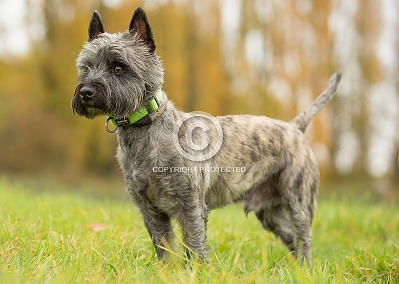 West Highland / Cairn Terrier Cross