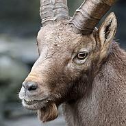 Male Alpine ibex (Capra ibex)