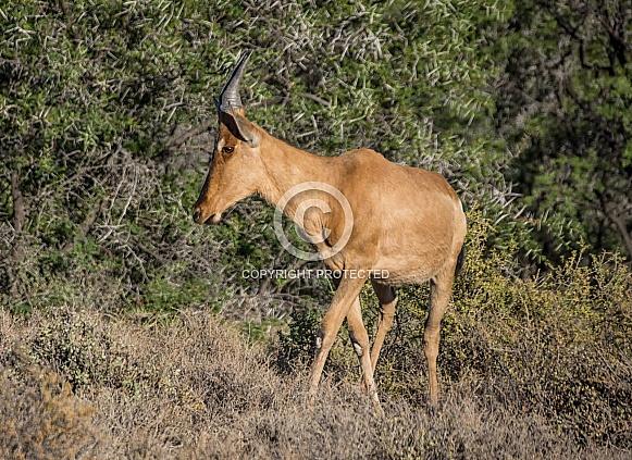 Juvenile Red Hartebeest