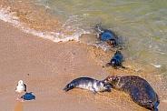 Harbor Seals with Pups