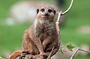 Meerkat Sitting On Branch