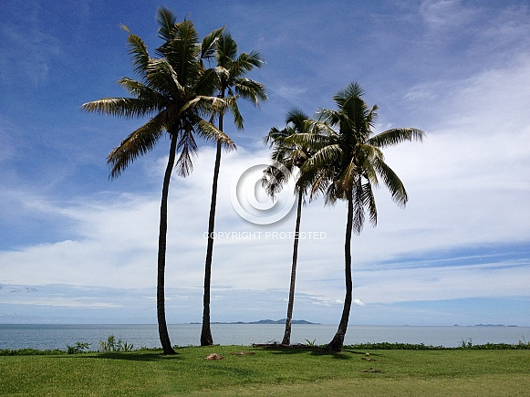 Palm Trees in Fiji