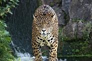 Male Jaguar and Waterfall