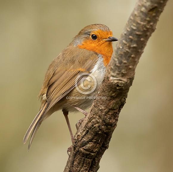 Perched European Robin