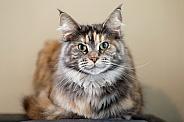 Maine Coon (Felis catus)