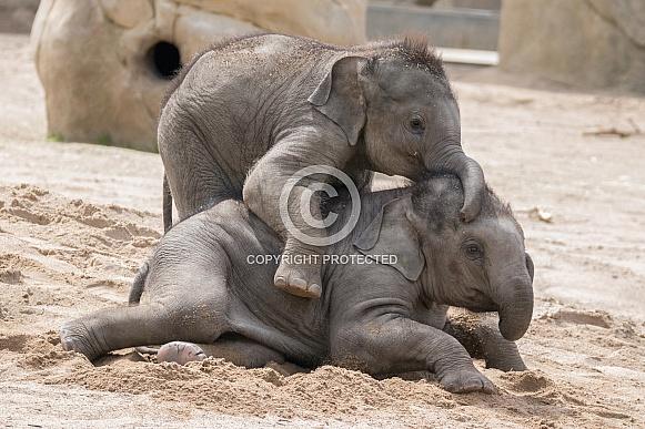 Young Asian Elephants