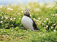 Puffin between Some flowers