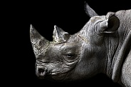 Black Rhino Side Profile Head Shot