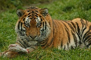 Amur Tiger Lying With Food Facing Camera