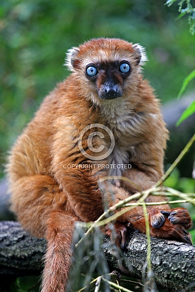 Blue-eyed black lemur (Eulemur flavifrons)