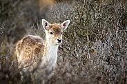 Young deer in the dunes