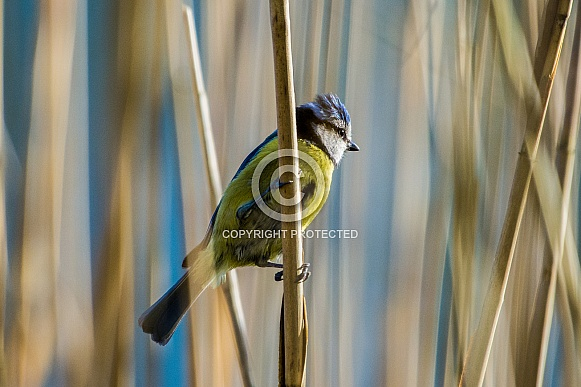 Blue tit in the reeds