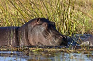 Hippopotamus - Okavango Delta