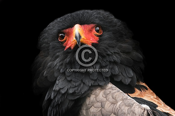 Bateleur Eagle Head Tilt Close Up Black Background