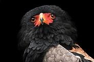 Bateleur Eagle Head Tilt Close Up Black Background