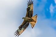 Red Kite Wings Spread