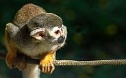 Squirrel Monkey On Branch