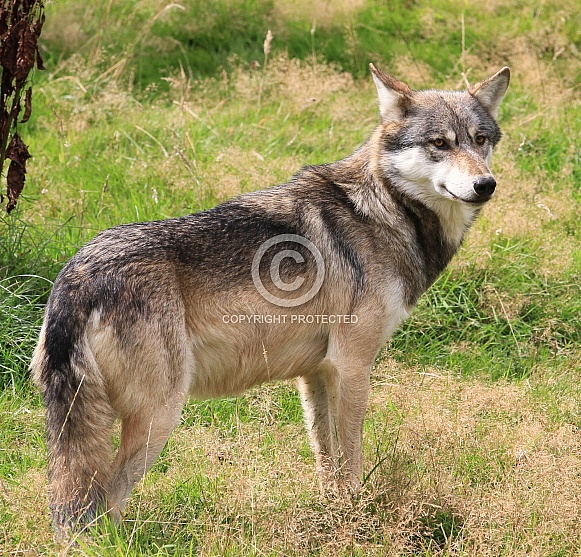 Wolf Looking