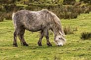 Preseli Pony