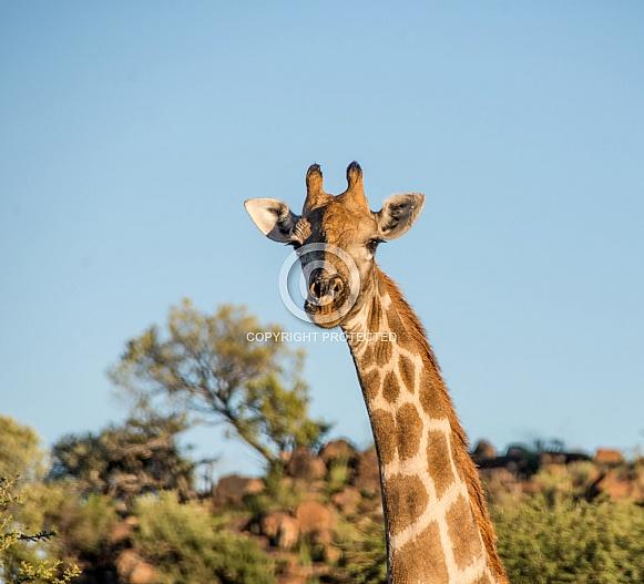 Giraffe head and neck portrait