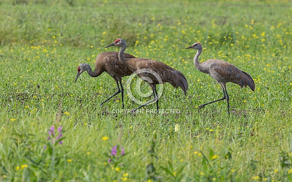 Sandhill Crane Family Walking