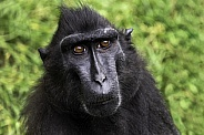 Sulawesi Crested Macaque Close Up