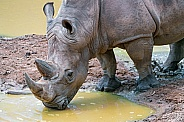 Rhinoceros Drinking