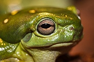 Magnificent Green Frog