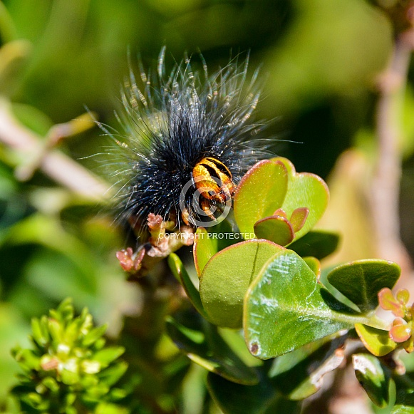 Mesocelis monticola Caterpillar