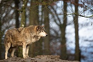 eastern timber wolf