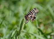 Southern Festoon Butterfly