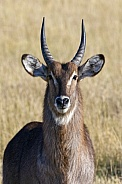 Waterbuck - Okavango Delta - Botswana