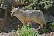 Swift Fox