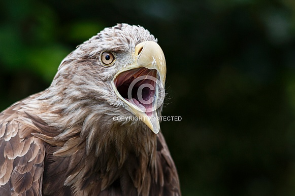 White Tailed Fish Eagle Beak Open