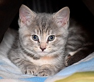 Grey Tabby Kitten