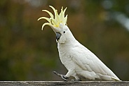 Sulphur-Crested Cockatoo.