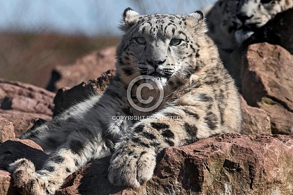Young Snow Leopard Lying On Rocks