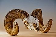 Bighorn Ram Skull