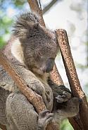 Koala resting in a forked branch - Queenland Australia