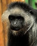 brooding gibbon