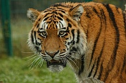Amur Tiger Face Shot. Coming Into Shot From The Right.