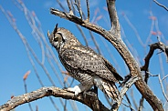 Profile of a horned owl in a tree