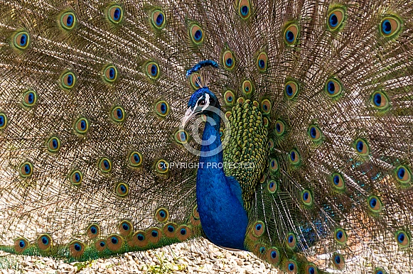 Male Peacock Displaying