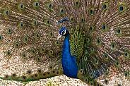 Male Peacock Displaying