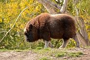 Musk Ox calf