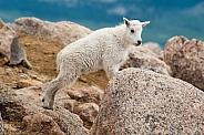 Wild Mountain Goat kid