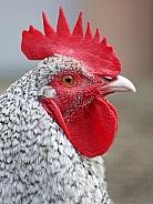 North-Holland Blue chicken